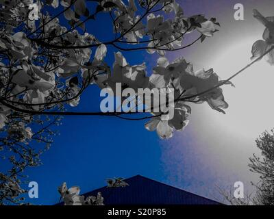 Blue color pop photo of dogwood blossoms on branch reaching over shed roof in North Carolina - Stock Photo
