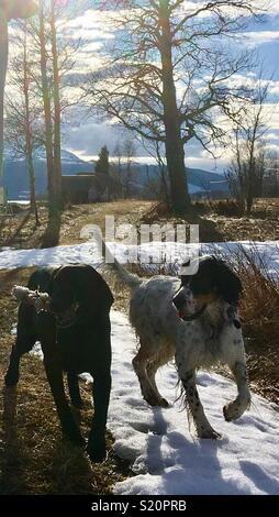 Kärleks hundar på promenad - Stock Photo