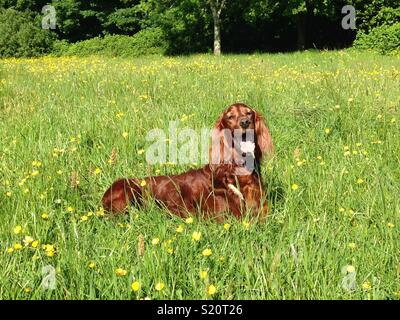 Irish setter dog in field of grass and buttercups - Stock Photo
