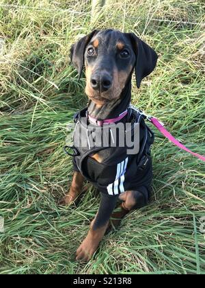 Dobermann Puppy Training and Walk - Stock Photo