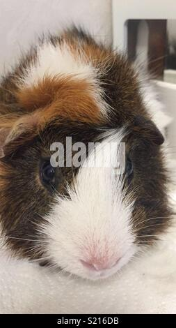 Roy the Abyssinian Guinea Pig - Stock Photo