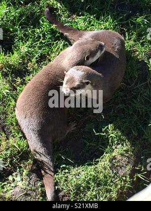 Otters Cuddling Edinburgh Zoo - Stock Photo
