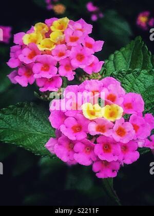 Pink and yellow flowers blooming, Lantana camara - Stock Photo