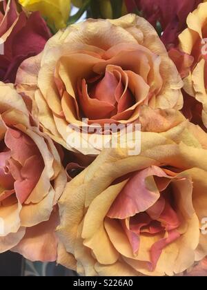 Two tone roses - Stock Photo