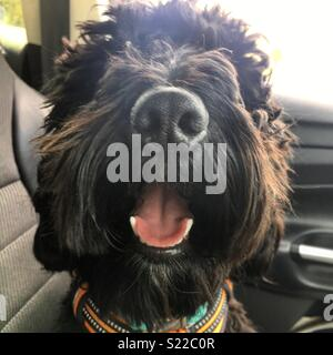 Happy cockapoo - Stock Photo