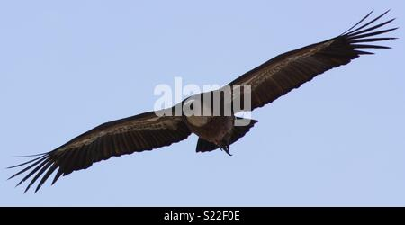Spread eagle - Stock Photo