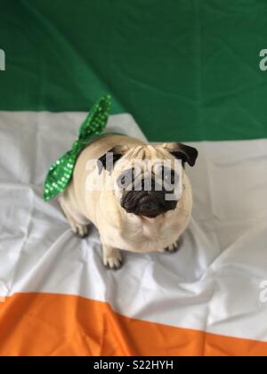 Dotty the pug celebrating St Patrick's Day! - Stock Photo