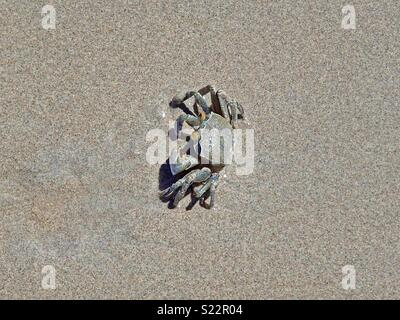 A crab buries itself in close-up from the wet sand on the beach in the seychelles - Stock Photo