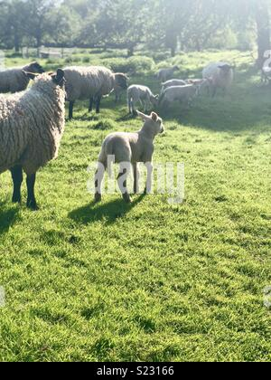 Lambs & sheep in country field - Stock Photo
