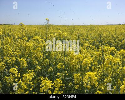 Yellow rapeseed field, blue sky, countryside - Stock Photo