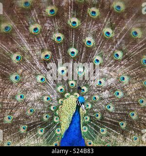 Closeup image of male peacock displaying fanned tail feathers - Stock Photo