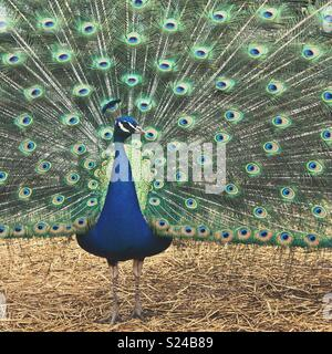 Portrait of blue adult male peacock with fanned tail feathers - Stock Photo