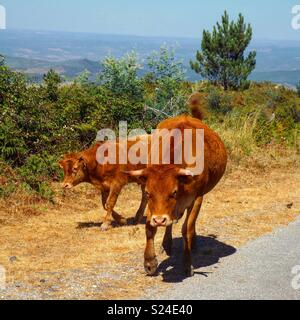 Bull ready to charge - Stock Photo