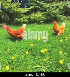 Two free range Rhode Island Red chickens running in grass with dandelions and trees in background - Stock Photo