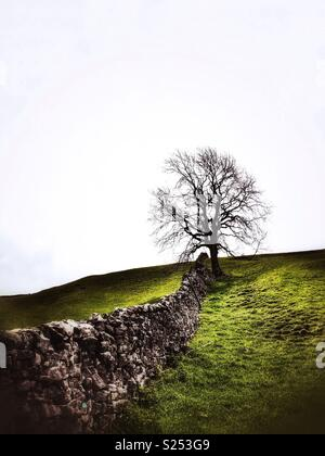 Lone bare leafed tree at the end of a dry stone wall set against a white sky. Yorkshire Dales, England, Great Britain. - Stock Photo