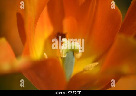 Close up of fiery orange tulip at Hampton Court in May - Stock Photo