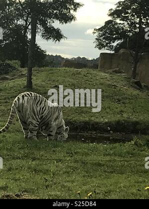 White tiger drinking - Stock Photo