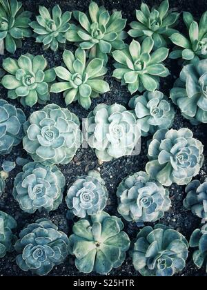 Top view of succulents growing in neat rows in a garden - Stock Photo