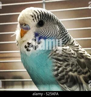 Blue budgerigar with white cage bars in the background - Stock Photo