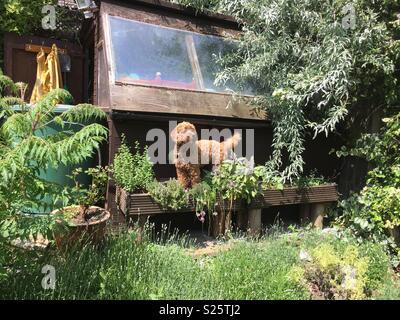Cockerpoo in garden - Stock Photo