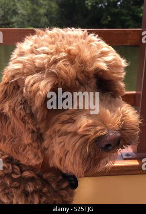 Cute Cockerpoo - Stock Photo