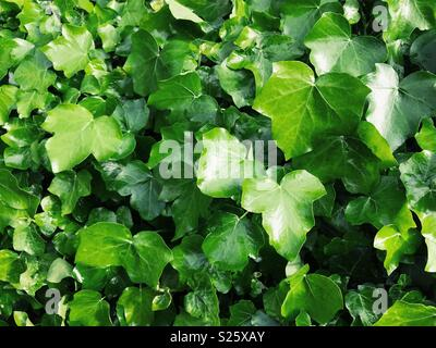English ivy (Hedera helix) growing on a wall in England. - Stock Photo