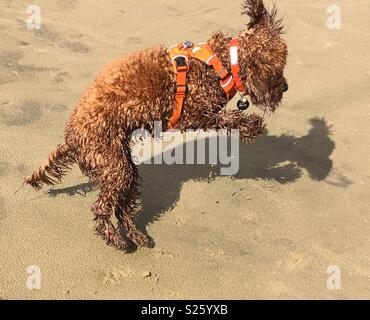 Leaping Cockerpoo and shadow on beach - Stock Photo