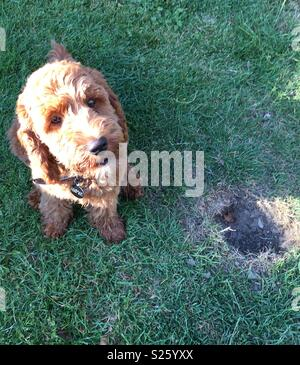Naughty Cockerpoo puppy with hole in the grass - Stock Photo