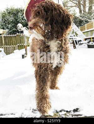 Sproodle in the snow - Stock Photo