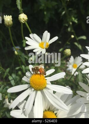 Close up of Daisies Blooming outdoors and honey bee collecting honey - Stock Photo