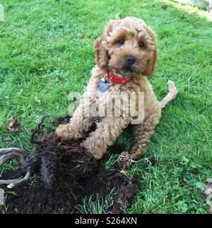 Naughty Cockerpoo puppy with plant it dug up - Stock Photo