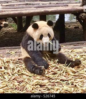 Chengdu panda base - Stock Photo