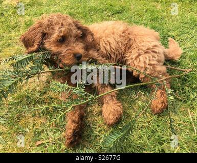 Naughty Cockerpoo puppy chewing a branch - Stock Photo