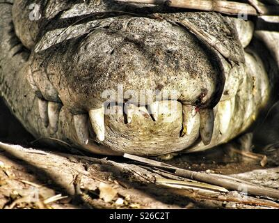 Close up front view of the snout of an Australian Saltwater Crocodile, showing the large canine and other teeth protruding from the top jaw. - Stock Photo