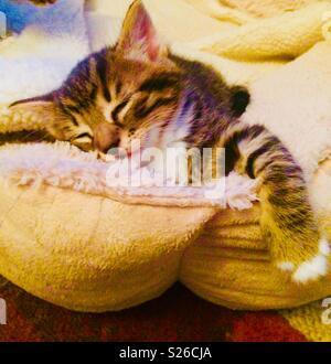 Sleeping cute Tabbie Kitten in dogs comfy bed - Stock Photo