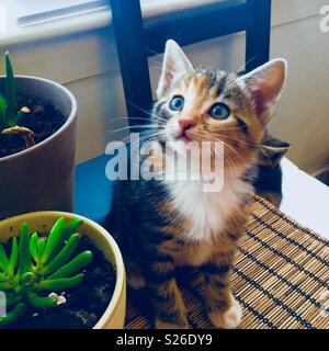 Beautiful little kitten sitting on a table looking up - Stock Photo