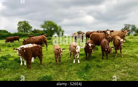 Cattle on parade - Stock Photo