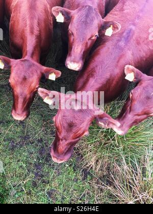 an aerial view of a herd of cattle or brown cows in a field - Stock Photo