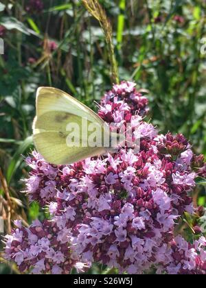 Kohlweißlig auf lila Blüten - Cabbage White Butterfly on Purple Blossoms - Stock Photo