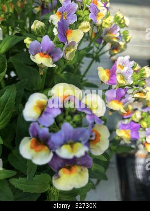 Nemesia Olivia flowers - Stock Photo