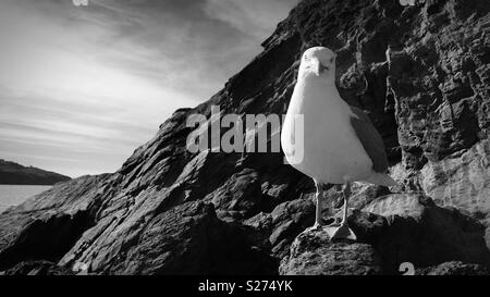 Newquay Seagull - Poser - Stock Photo