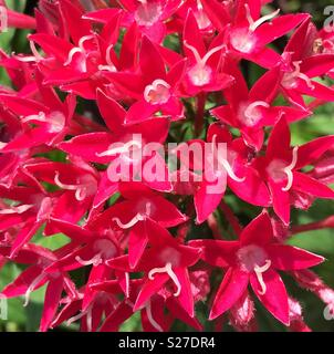 Tiny red flowers with white stamens that look like little moustaches - Stock Photo