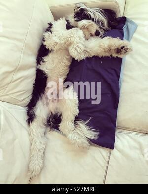 Sleepy Tibetan Terrier - Stock Photo