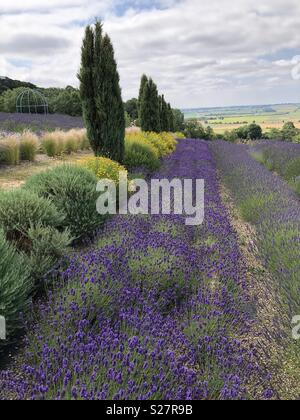 Rows of lavender at a Yorkshire lavender farm - not Provence - Stock Photo