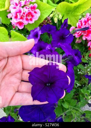 Woman holding purple velvet petunia blossom in flower garden - Stock Photo