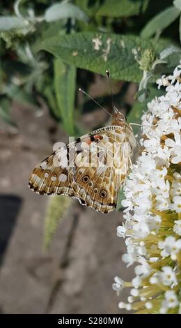 A bright and beautiful Painted Lady butterfly rests on flowers for feeding time. - Stock Photo