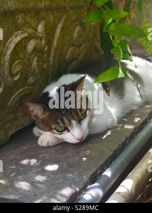 One of the cats at Ernest Hemingway's house in the Keys. - Stock Photo