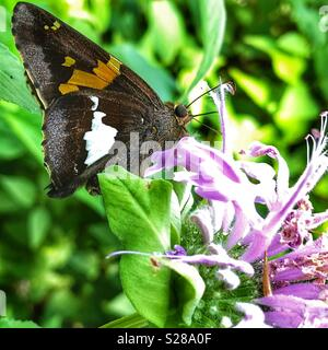 The butterfly, Silver-spotted Skipper, on bee balm plant. - Stock Photo