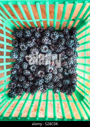 Fresh picked wild blackberries in a green plastic quart container - Stock Photo
