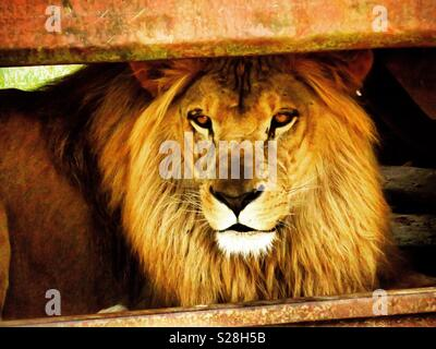 Lion resting in the shade - Stock Photo